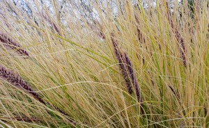 picture of a desert ornamental grass