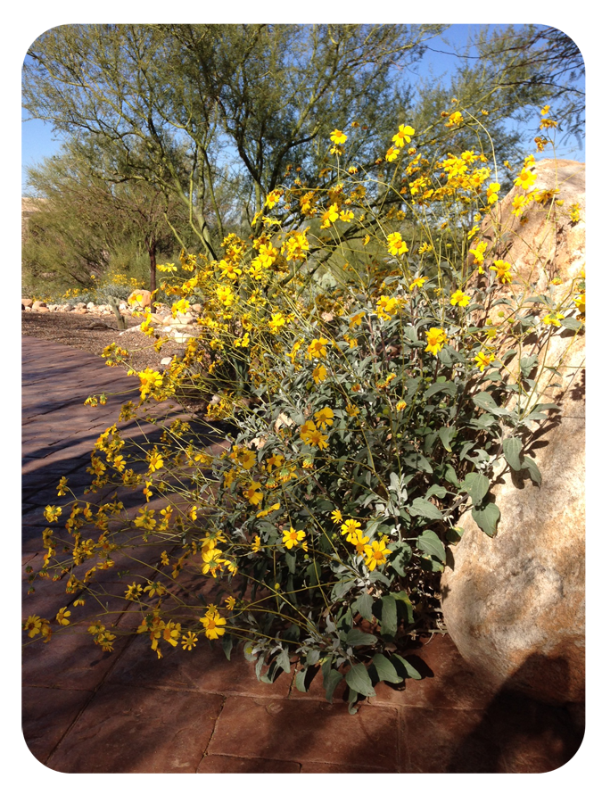 picture of a brittlebush blooms, tucson, AZ